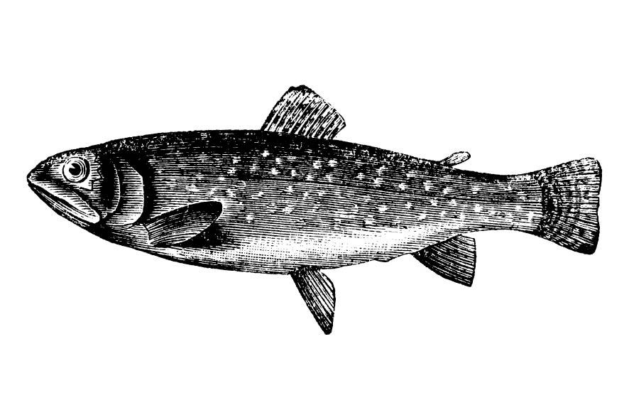 Fisch - Heimischer Fisch - Forelle