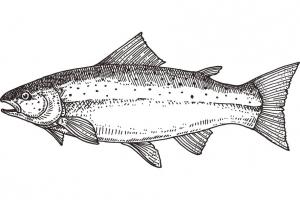 Fisch - Roher Fisch - Lachs
