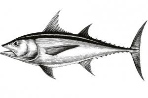 Fisch - Tuna