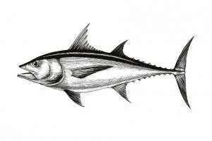 Fisch - Meeresfische - Tuna