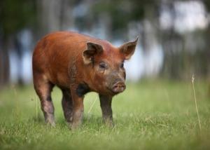 Duroc Schwein